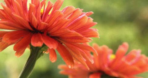 persass_blommor